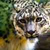 又有動物中標!美國雪豹集體染疫 成第6種確診動物