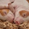 豬到底多聰明? 新研究證實豬能用鼻子打電動
