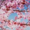 🌸 一年一度櫻花雨 🌸 洛杉磯2021春季賞櫻一覽
