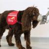研究:狗嗅出COVID-19染疫者準確率逾90% 無症狀也難不倒