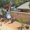 大熊攀上自家围墙 加州少女护爱犬徒手推开