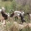 加州对付森林野火 有请山羊「吃草」清出防火线[影]