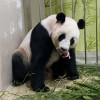 新加坡迎來首個大貓熊寶寶 性別待揭曉