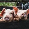 加州豬肉禁令來啦?培根缺貨可能導致價格飆漲60%