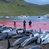 逾1400隻海豚遭屠殺 法羅群島傳統狩獵活動挨批