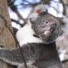 乾旱野火、濫伐樹木衝擊 澳洲無尾熊3年內銳減約30%