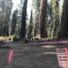 加州 Sequoia National Park 野火狂燒 世界最大樹木裹防火毯