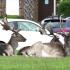 英國禁足令人煙稀少 鹿群趁機霸佔住宅區悠閒躺草皮