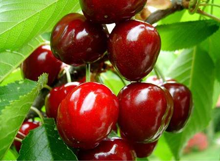 Vitamin C from Acerola Cherry