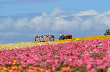 the flower fields 2