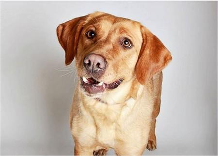 Maggie, Labrador Retriever.
