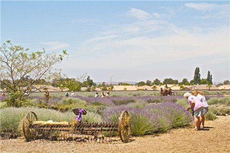 lavender-festival-005