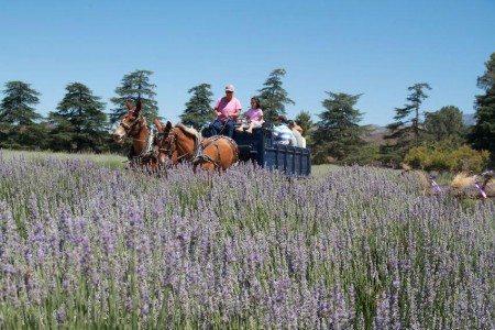 lavender-festival001