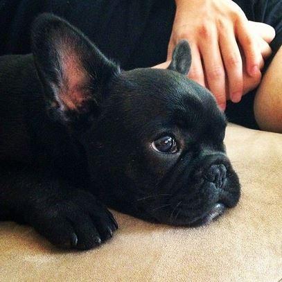 French Bulldog1-PC- Pinterest