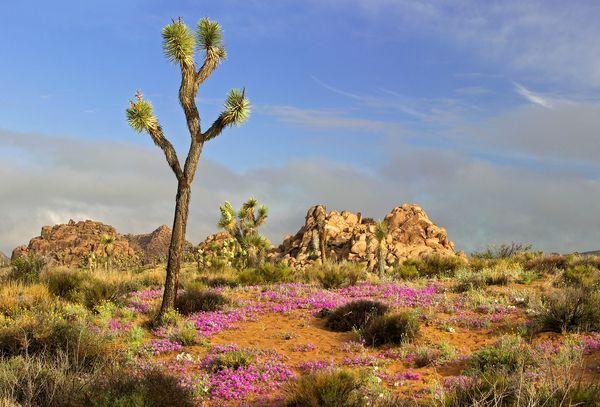 joshua-tree-wildflowers_89002_600x450