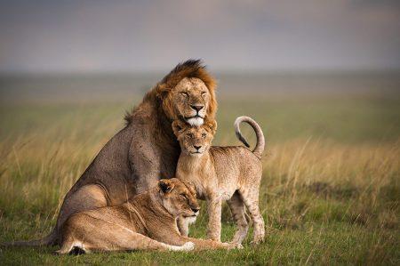 lion 2 awf