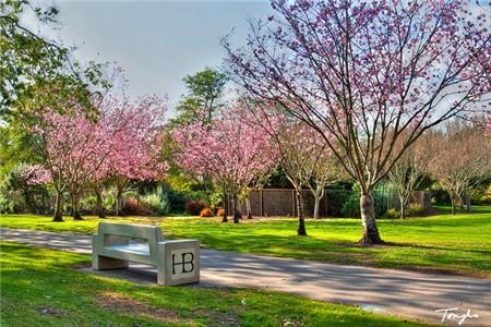 Huntington beach cherry blossom festival 3 19 Cherry blossom festival descanso gardens